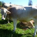 Gala, unsere Kuh